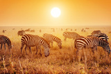 Zebras Herd on Savanna at Sunset, Africa. Safari in Serengeti, Tanzania Reproduction photographique par Michal Bednarek