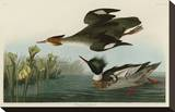 Red Breasted Merganser Stretched Canvas Print by John James Audubon