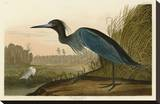 Blue Crane or Heron Stretched Canvas Print by John James Audubon