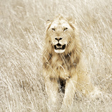 Lion in Kenya Reproduction photographique par Susan Bryant