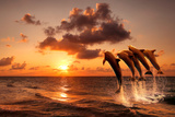 Beautiful Sunset with Dolphins Jumping Reproduction photographique par  balaikin2009