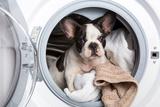French Bulldog Puppy inside the Washing Machine Photographic Print by Patryk Kosmider