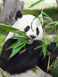 Giant Panda Fotografisk trykk av  GoodOlga