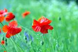 Closeup of Red Poppy on Cereal Field Fotografisk trykk av Vitaliy Pakhnyushchyy