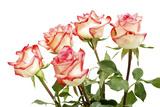 Red Rose Isolated on a White Background Fotografisk trykk av Vitaliy Pakhnyushchyy