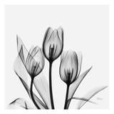 Tulipes Poster par Albert Koetsier