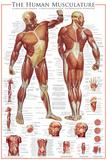 Muskelsystem Kunstdrucke
