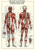 Muscular System Prints