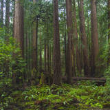 Old Growth Coast Redwood, Muir Woods National Monument, San Francisco Bay Area Lámina fotográfica por Anna Miller