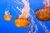 Black Sea Nettle Reproduction photographique par  Wolterk