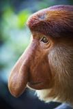 Proboscis Monkey Stampa fotografica