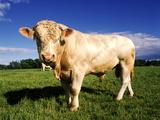 Vaca Lámina fotográfica