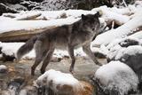 Wolf in Snow Lámina fotográfica