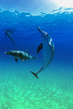 Delfine Fotografie-Druck