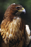 Red Tail Hawk Reproduction photographique