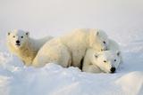 Osos polares Lámina fotográfica
