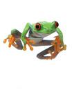 Frog Fotografisk tryk