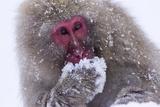 Scimmia Stampa fotografica