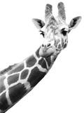 Giraffe Fotografisk tryk