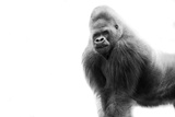 Gorilla Fotografie-Druck