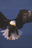 Weißkopfseeadler Fotografie-Druck
