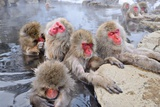 Macaques Bath in Hot Springs in Nagano, Japan. Photographic Print by  SeanPavonePhoto