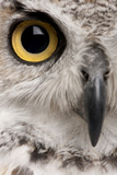 Close-Up of Great Horned Owl, Bubo Virginianus Subarcticus Photographic Print by Life on White