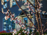 Cherry Blossoms in Small Town America Reproduction photographique par  Wolterk