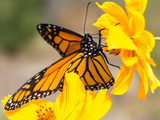 Migrating Monarch Butterlies in Autumn Reproduction photographique par  Wolterk