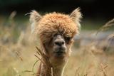 Alpaca Lama Fotografisk tryk af  erikgessinger