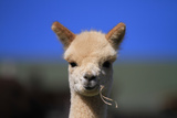 Tan Cria Alpaca Fotografisk tryk af  CountrySpecial