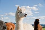 White Alpaca in a Herd Impressão fotográfica por  tepic