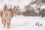 Llama Fotografie-Druck von  ellenamani