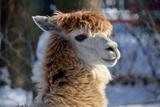 Alpaca close up Granby Zoo Quebec Canada Fotografisk tryk af  meunierd