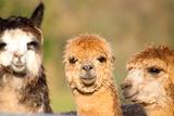 Alpaca Camelid like Llama Fotografisk tryk af  acceleratorhams