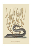 Black Moray Eel Kunstdrucke von Mark Catesby