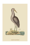 Brown Bittern Posters por Mark Catesby