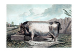 British Boar Plakat af Edwin Henry Landseer