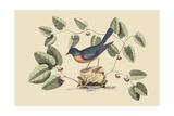 Blue Bird Reproduction giclée Premium par Mark Catesby