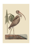 Brown Curlew Pôsters por Mark Catesby