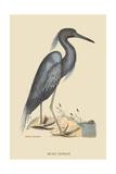 Blue Heron Posters por Mark Catesby