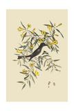 Blackcap Flycatcher Posters par Mark Catesby