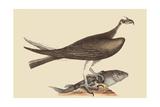 Fishing Hawk Pôsters por Mark Catesby