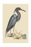 Blue Heron Pôsteres por Mark Catesby