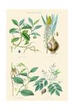 Medicinal Plants. Ipecacuan, Squill, Sarsaparilla, Copaiba Prints by William Rhind
