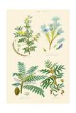 Gum Plants. Gum Arabic, Tragacanth, Olibanum, Mastic Posters by William Rhind