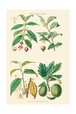 Plants Unused as Food. Coffee, Tea, Chocolate, Breadfruit Posters by William Rhind