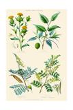 Plants Used in Dyeing. Safflower, Fustic, Brazil Wood, Logwood Print by William Rhind