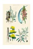 Medicinal Plants. Rhubarb, Aloe, Gentian, Cajeput Prints by William Rhind