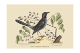 Red Legged Thrush Posters par Mark Catesby